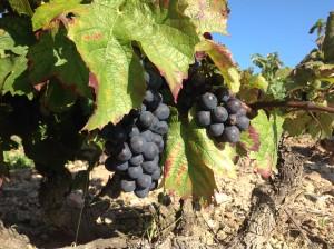 Vauxrenard - Beaujolais - Rhone - Les vignes de Vauxrenard